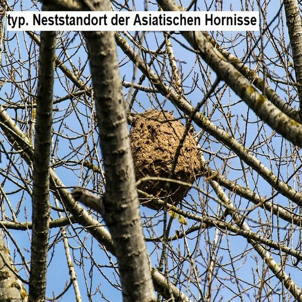 Bild_Hornisse_Nest