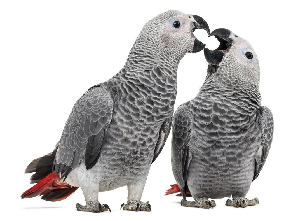 zwei Papageien schnabeln