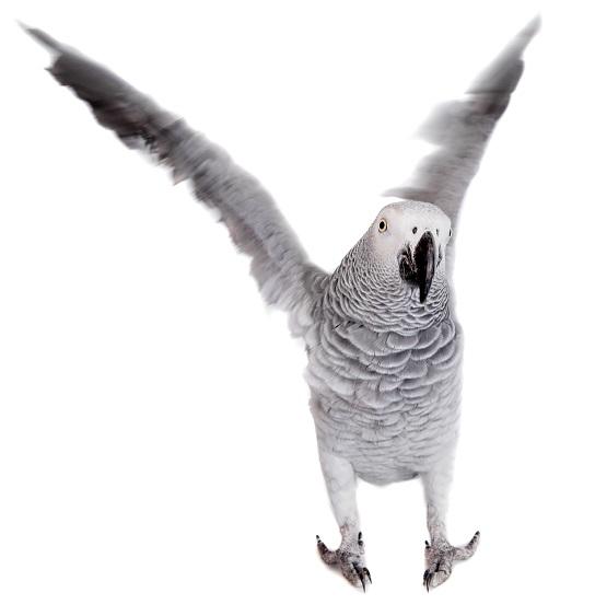 Papagai schlägt mit Flügeln