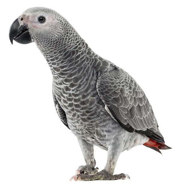 grauer Papagai