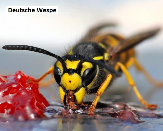 ThinkstockPhotos_148440478_Deutsche_Wespe_klein_beschriftet.jpg